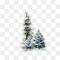 冬天的松树