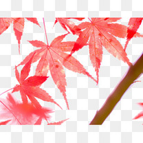 宏观照片的枫树叶在秋天