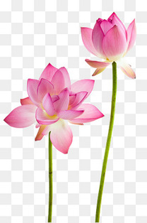 鲜花的荷花
