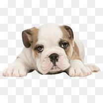趴着的可爱狗