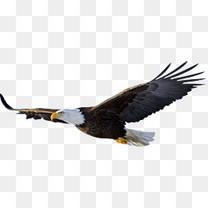 翱翔飞行凶猛老鹰