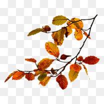 枫叶树枝素材