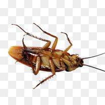 翻身的蟑螂