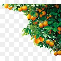 树木橘子树