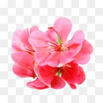 天竺葵花瓣特写