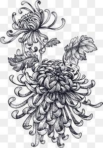 盛开的素描菊花