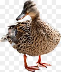 家禽水鸭鸭子动物