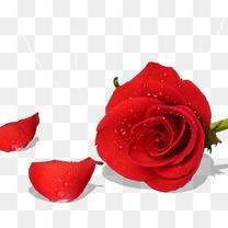 情人节红色玫瑰花朵和花瓣装饰
