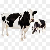 可爱的奶牛