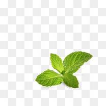 绿色薄荷叶子